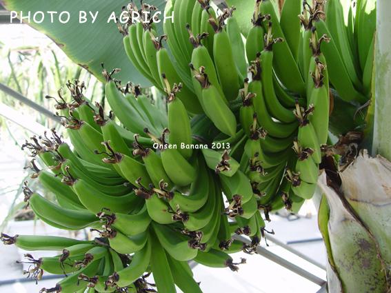 onsen banana 2013-2