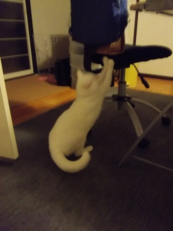 椅子で爪とぎふきちゃん1