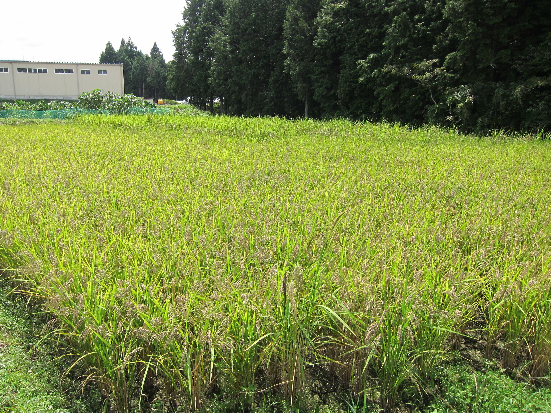 古代米が順調に育っています