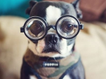 牛乳瓶眼鏡犬