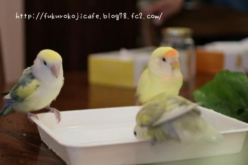 黄色水浴び1