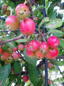 豊平の姫リンゴ