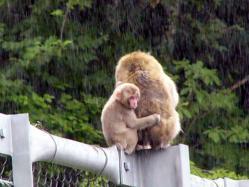 雨の中の親子サル-1