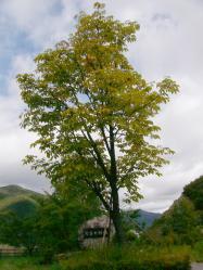黄色くなってきた栃の木