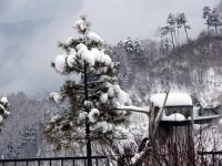 コウヤマキに積もった雪