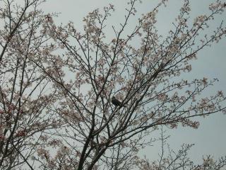 野鳥もお花見!?
