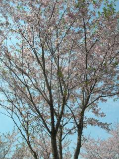 今年最後の桜!?