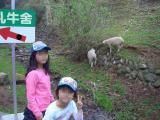 羊がこんな近くに!