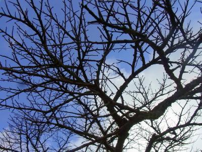 111204山頂の金剛桜