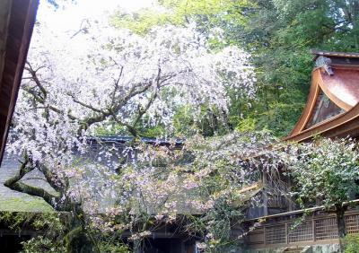 120421水分神社の桜が今年も咲いているよ