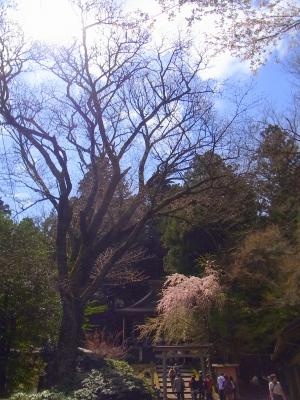 120421金峯神社の桜も