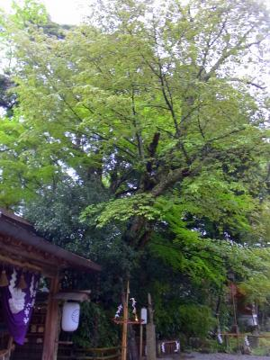 120422 葉桜の緑が美しい