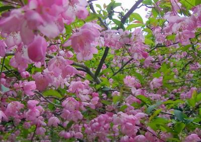 120527 カイドウ桜