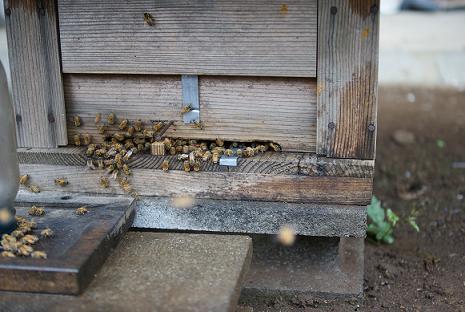 ミツバチ3