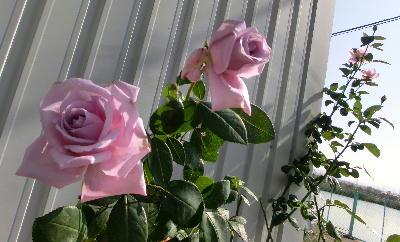 131204-薔薇-1