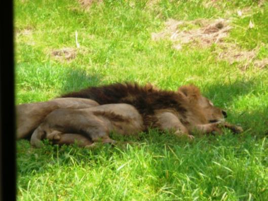 アドベンチャーワールド サファリワールド 肉食動物ゾーン ライオン