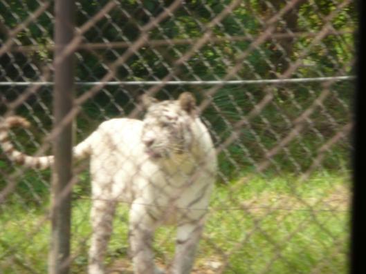 アドベンチャーワールド サファリワールド 肉食動物ゾーン ホワイトタイガー