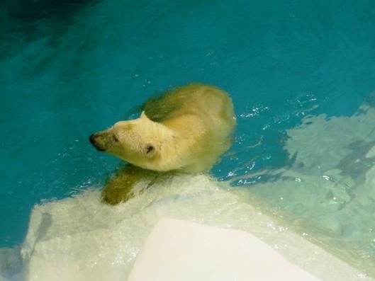 アドベンチャーワールド 海獣館 シロクマ
