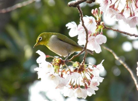桜メジロ3