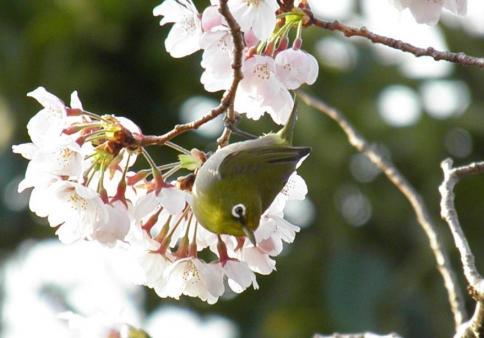 桜メジロ1