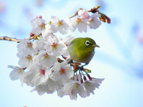 桜メジロ6
