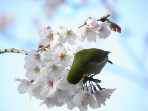 桜メジロ5
