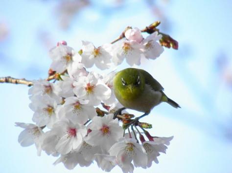 桜メジロ4