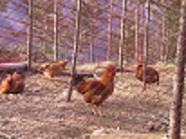 初代の『うなま山地鶏』の雌雄鶏です。