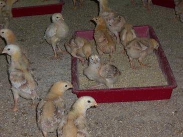 12日齢の「うなま山地鶏」です。食欲旺盛です。