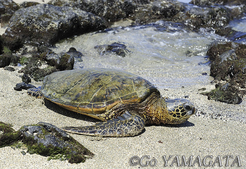 Hawaiian_Green_Turtle.jpg