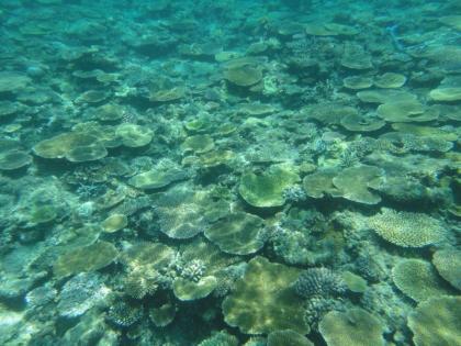 池間サンゴ(1)