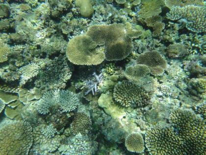 池間サンゴ(2)