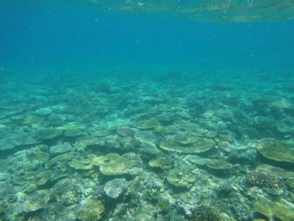 池間サンゴ(3)