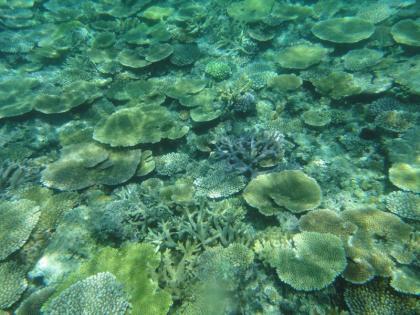 池間サンゴ(4)