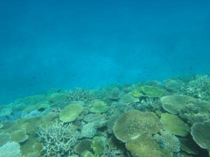 池間サンゴ(6)