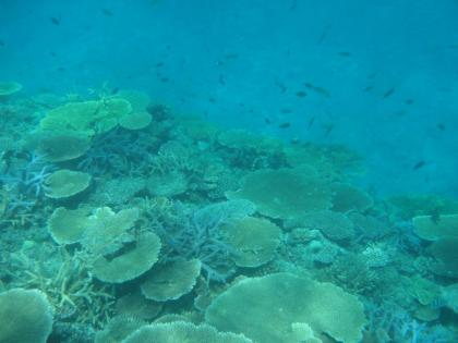 池間サンゴ(7)