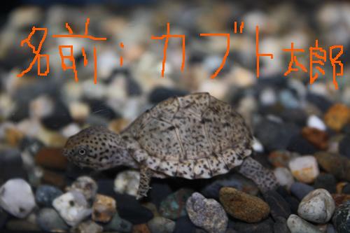 カブト太郎、岐阜カブトニオイガメ販売、岐阜レザーバックタートル販売