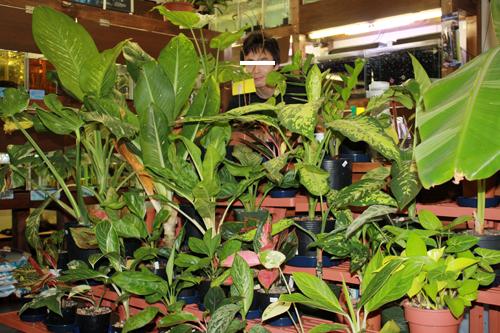 変わった観葉植物、サトイモ、アグラオネマもたくさん 岐阜熱帯魚水草販売Grow aquarium