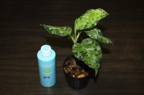 Aglaonema Pictum Tricolor アグラオネマ ピクタム トリカラー 迷彩柄
