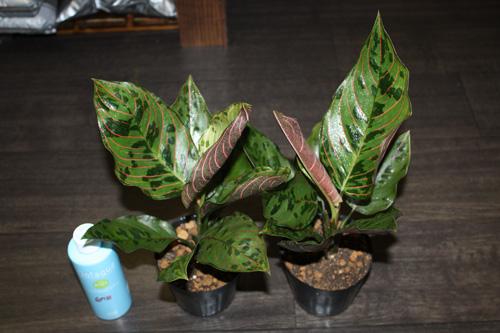 Aglaonema hybrid アグラオネマ ハイブリッド タイガー×バイカラー 迷彩柄