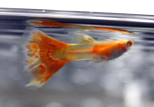 RREA.ファイヤーモザイク グッピー 岐阜熱帯魚水草販売Grow aquarium