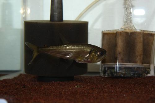 アルマータス ペーシュカショーロ 岐阜熱帯魚水草販売Grow aquarium
