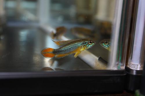 アピストグラマ アガシジー スーパーレッド 岐阜熱帯魚水草販売Grow aquarium