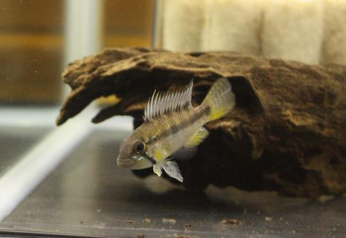 アピストグラマ sp.ジュルア2<br /> 岐阜熱帯魚水草販売Grow aquarium