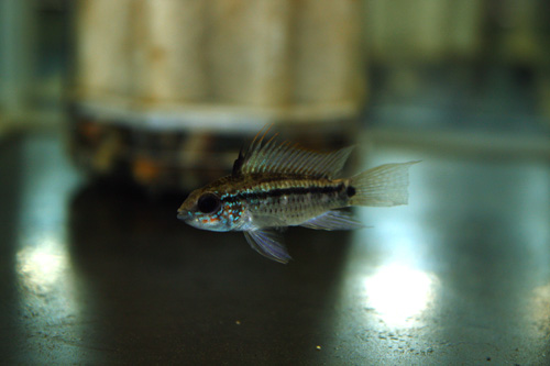 アピストグラマ ディアマンテ イタヤ (エレムノピゲ)岐阜熱帯魚水草販売Grow aquarium