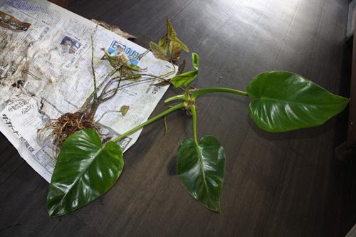 希少観葉植物入荷 レア植物です^^ 岐阜熱帯魚水草販売Grow aquarium