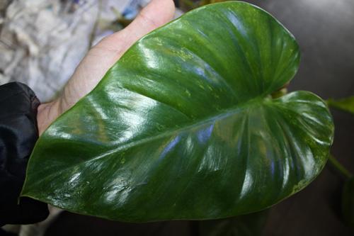 フィロデンドロン ギガンテウム バリエガータ Philodendron giganteum variegata 希少観葉植物入荷 レア植物です^^ 岐阜熱帯魚水草販売Grow aquarium