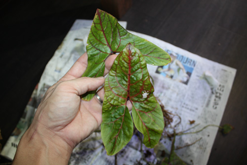キルトスペルマ ジョンストニー Cyrtosperma johnstonii 希少観葉植物入荷 レア植物です^^ 岐阜熱帯魚水草販売Grow aquarium