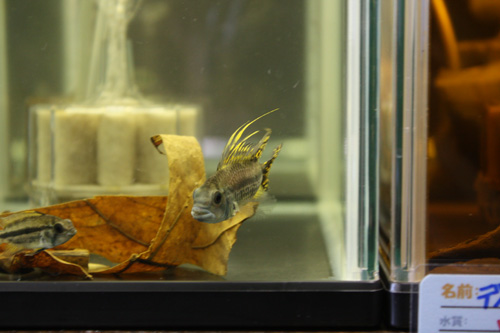アピストグラマ カカトゥオイデス ダブルレッド 岐阜熱帯魚水草販売Grow aquarium