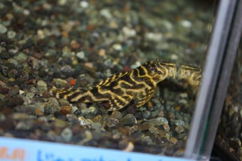 オリノコ・アラベスクペコルティア 岐阜熱帯魚水草販売Grow aquarium